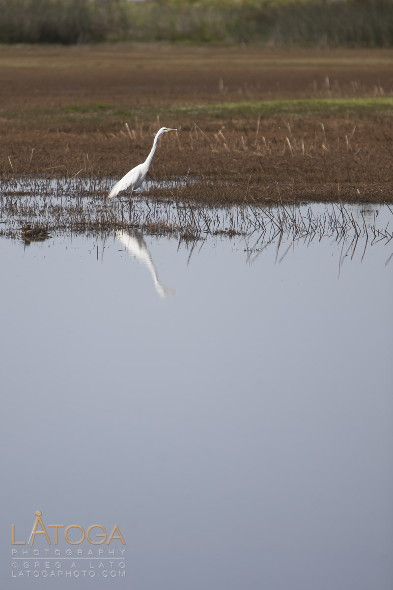 Great Egret (Ardea alba ) fishing in wetlands at Colusa Nataional Wildlife Refuge near Calusa California.