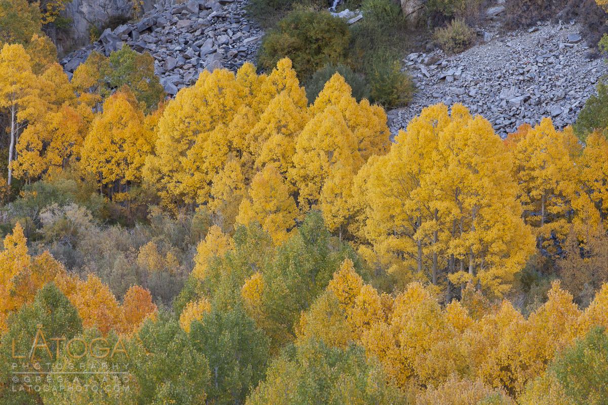 Colorful Aspen along South Lake Road