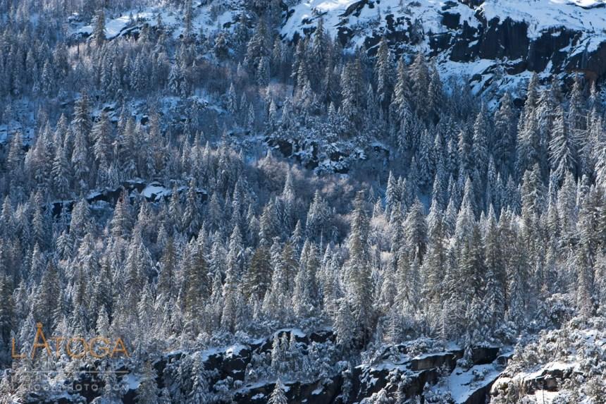 Hillside of snow covered pine trees.