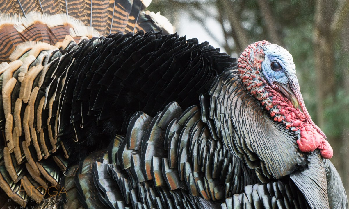 Close up of male Wild Turkey (Meleagris gallopavo)