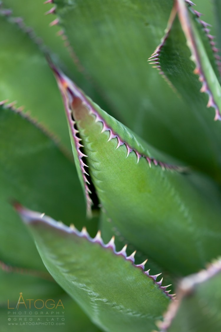 Close Up of Shaw's Agave Leaves