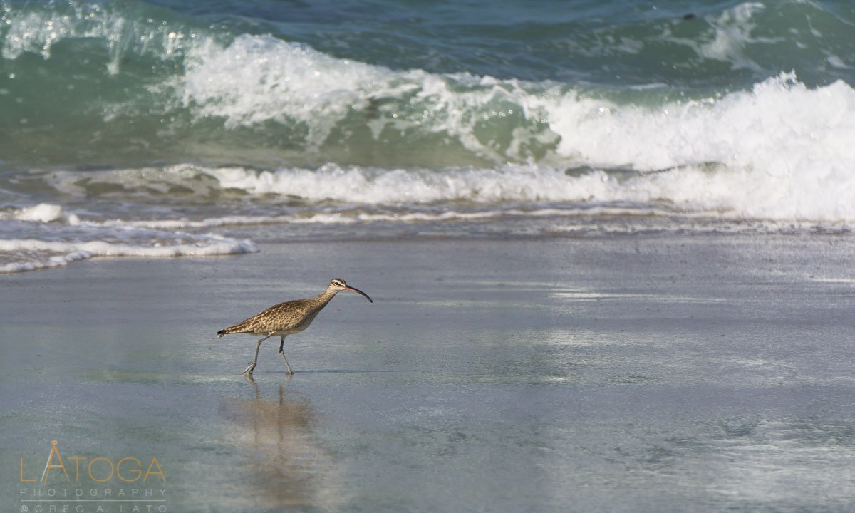 A Long-Billed Curlew (Numenius americanus) at Asilomar State Beach, California