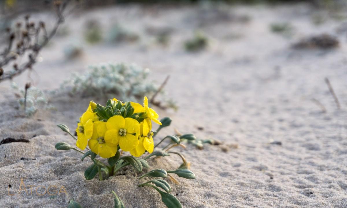 Menzies' Wallflower at Asilomar State Beach, California