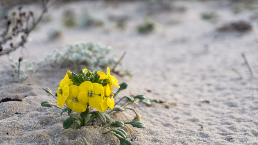 Menzies' Wallflower at Asilomar State Beach, California