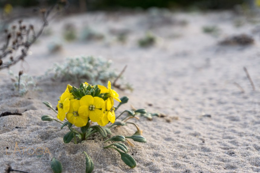 Menzies' Wallflower at Asilomar Dunes Natural Preserve, California