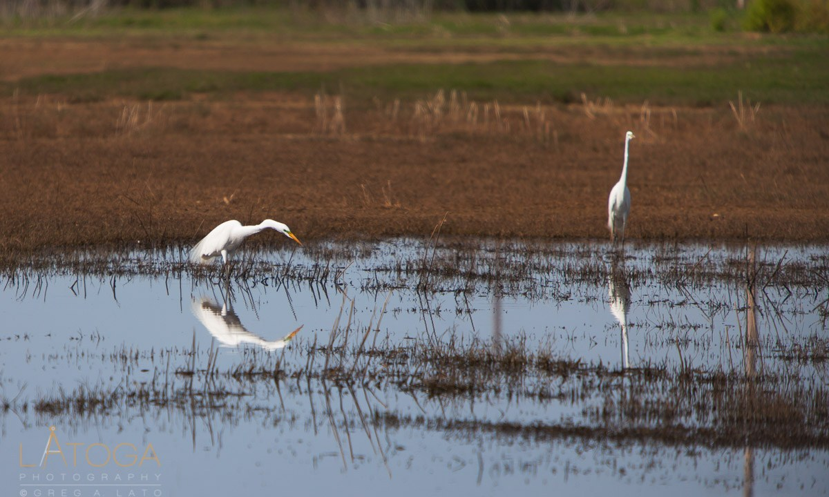 Pair of Great Egrets (Ardea alba ) During Matting Season