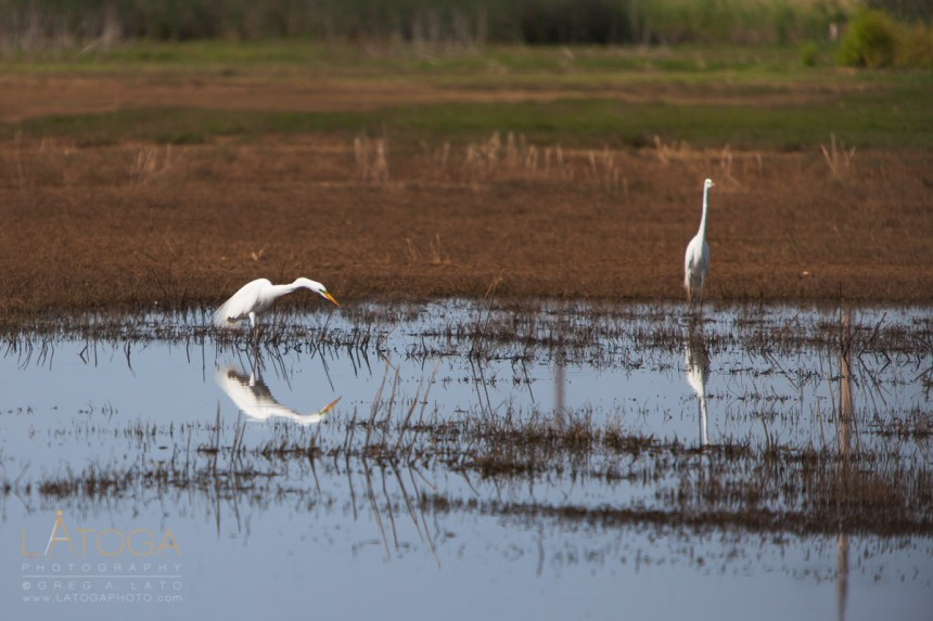 Pair of Great Egrets (Ardea alba ) During Matting Season