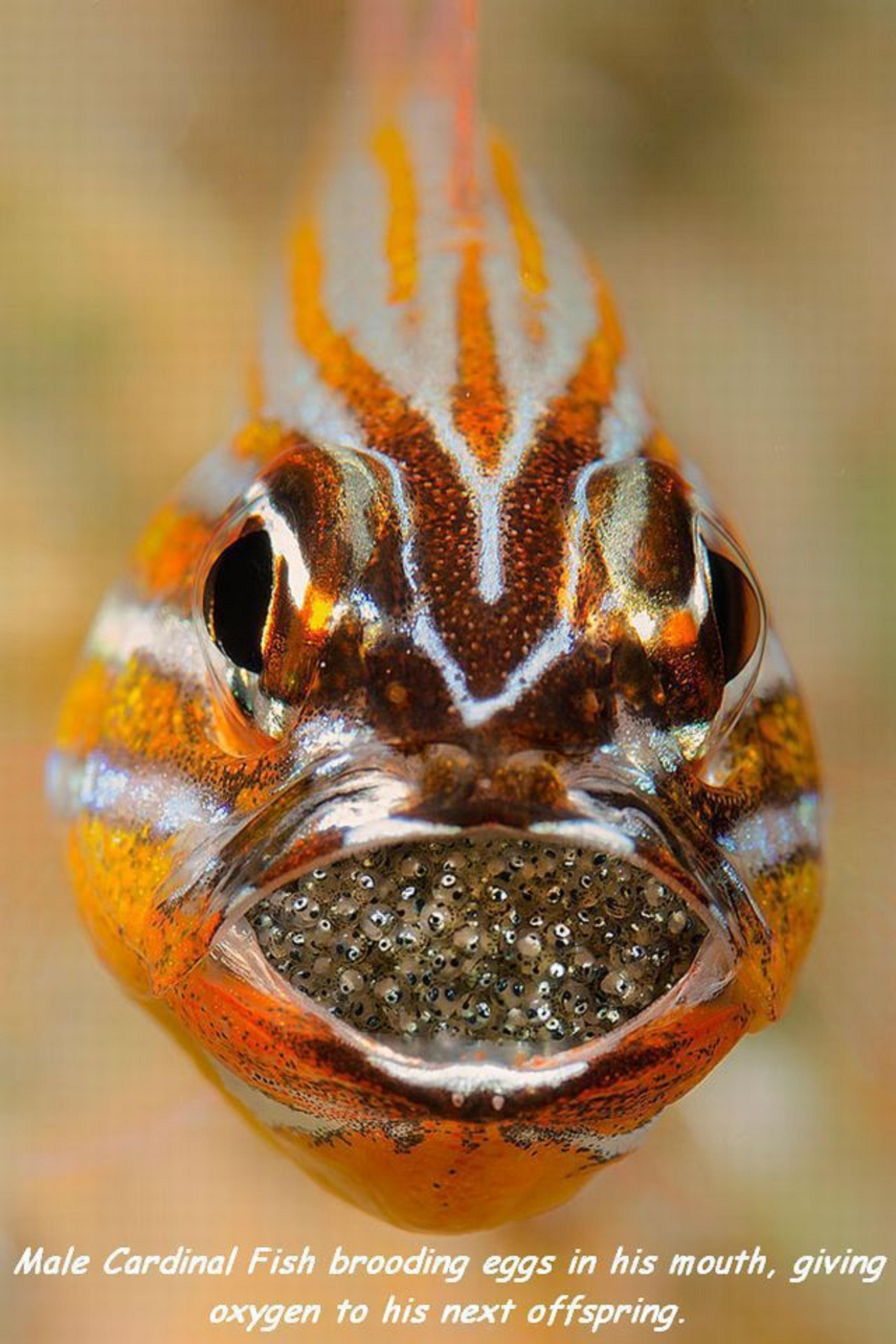 Male Cardinal Fish Brooding Eggs In His Mouth Giving