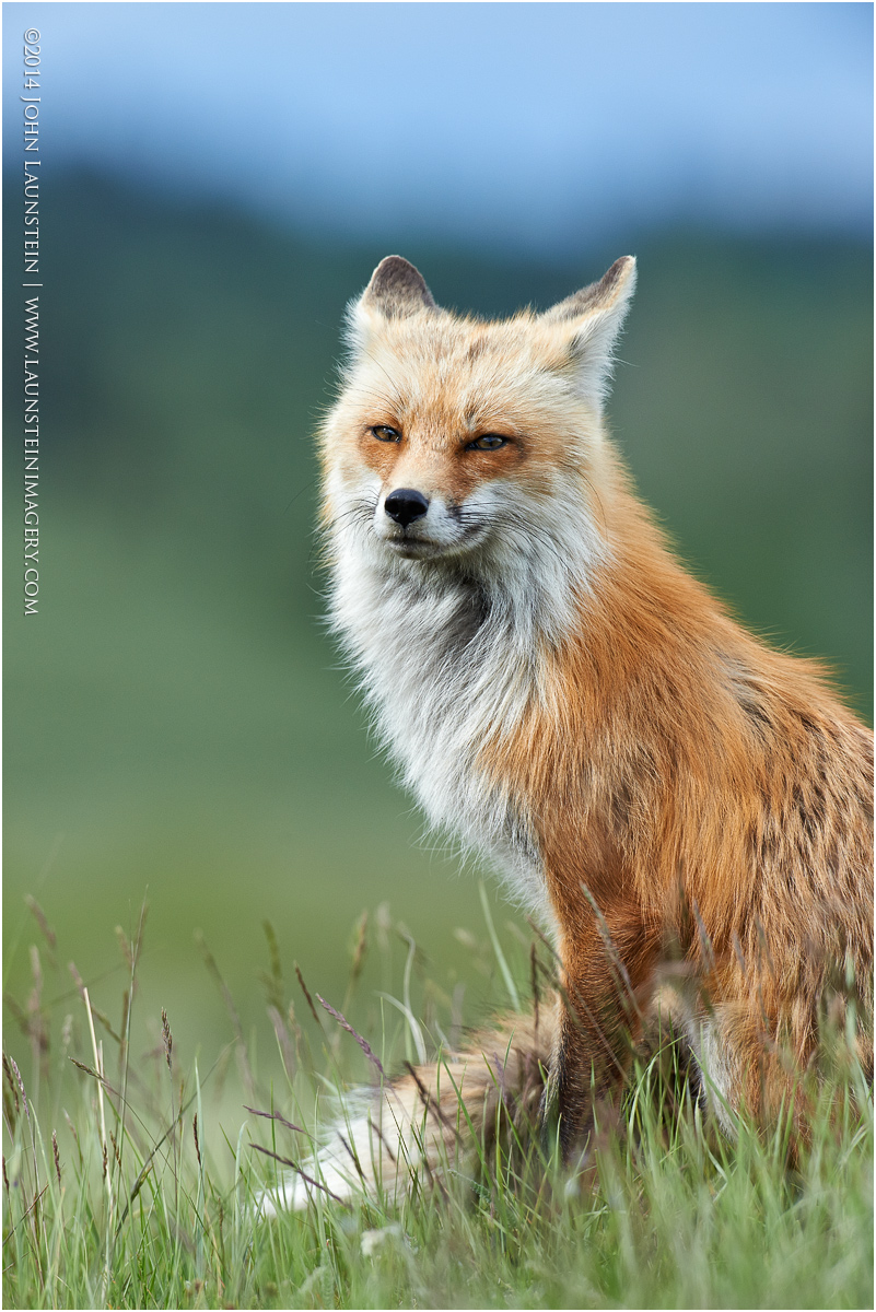 red-fox-vixen-portrait1-1200