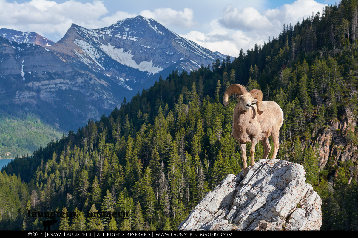 Probably Jenaya's most memorable image of 2014 - a Rocky Mountain Bighorn Sheep ram strikes a pose atop a rocky outcropping in the Canadian Rockies - © Copyright 2014 Jenaya Launstein | All rights reserved