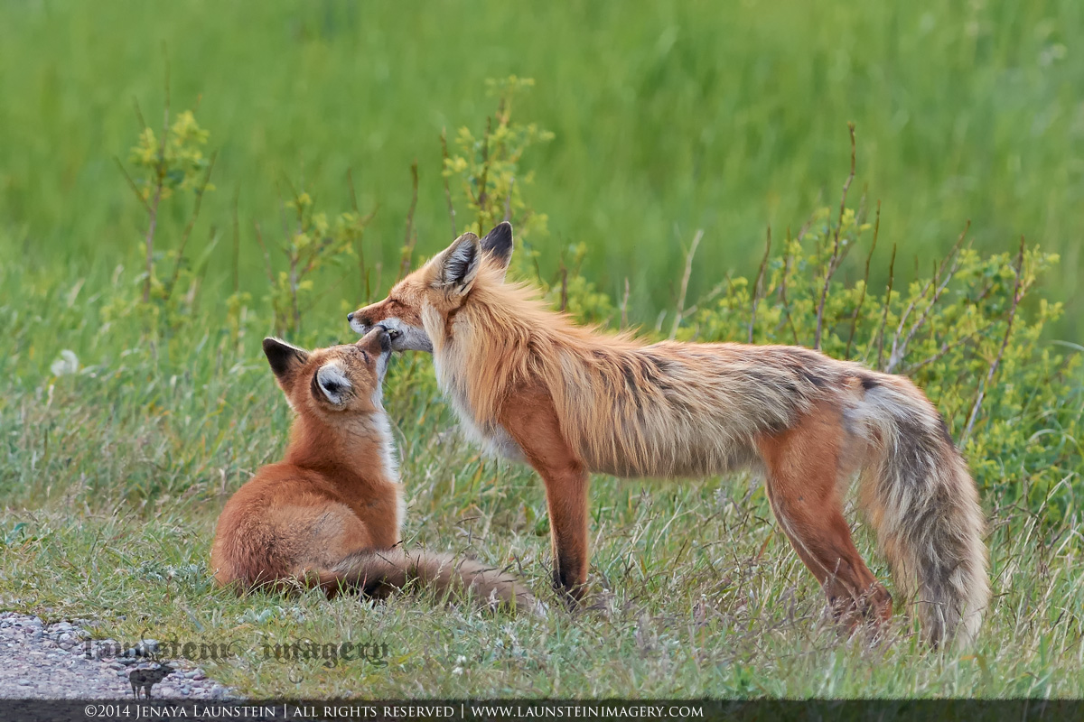 A red fox kit takes a moment to express its love for its mom as spring turns to summer in Waterton Lakes National Park, Alberta, Canada.