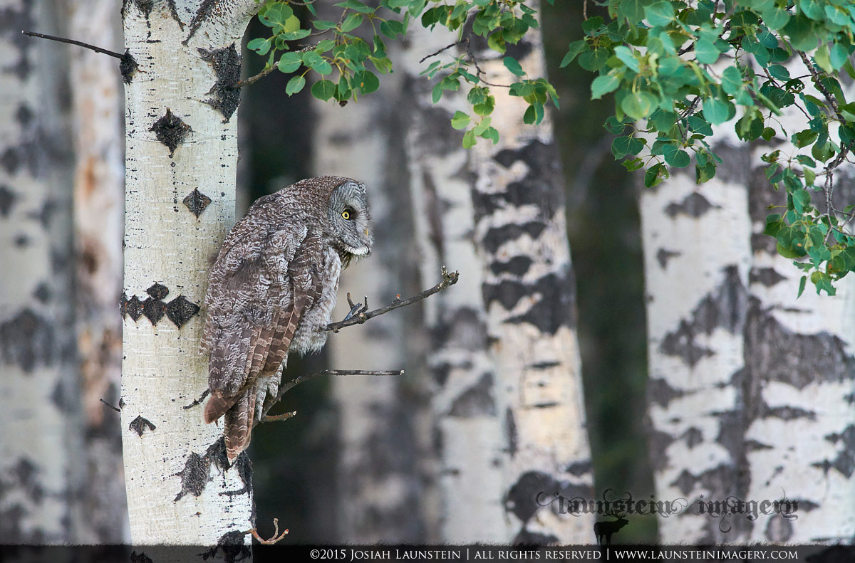 A Great Grey Owl stares intently to perceive the cause of movement that caught its attention as it hunts the edge of an aspen forest in western Alberta, Canada.