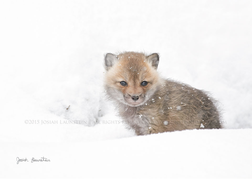 First Snow - A young Red Fox looks out at his snow-covered world after a surprise spring snowfall in the Rockies | ©2015 Josiah Launstein | All Rights Reserved | www.launsteinimagery.com