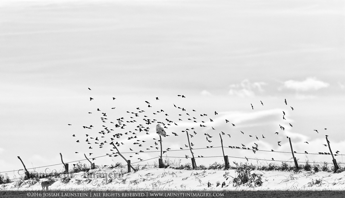 Birds of a Feather - Fellow winter residents of the Canadian Prairies, a beautiful Snowy Owl is surrounded by flock of Common Redpolls as they take flight from the fence they were sharing | ©2016 Josiah Launstein | All Rights Reserved | www.launsteinimagery.com