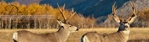 Images of Mule Deer and Whitetail Deer by the Launstein Family