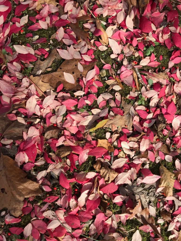 scattered burning bush leaves