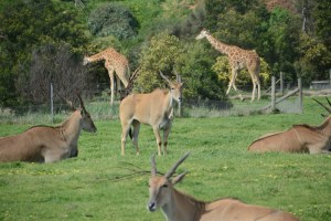 Antelopes and Giraffes