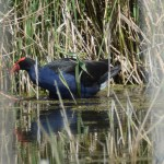 Wetlands Bird
