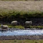 3 sheep