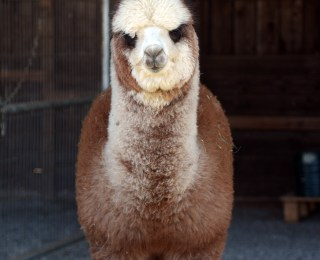 Notes from the Alpaca Farm