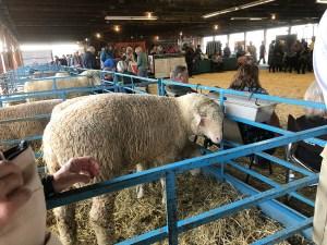 big sheep