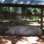 Giant pig lazing in the shade