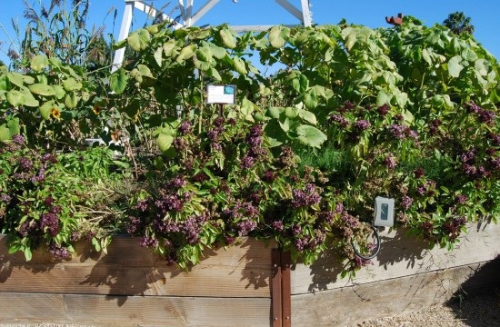 Beautiful raised planter beds of basil were ready to be harvested before the cold snap expected in Southern California.