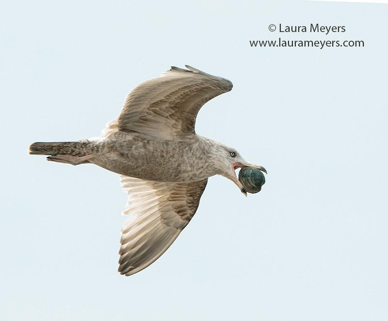 Herring Gull Immature in Flight