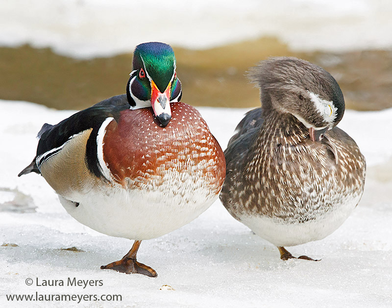 Wood Duck Male and Female