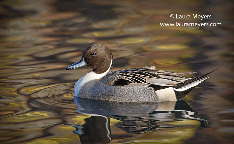 Northern Pintail Duck Male