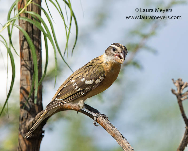 Black-headed Grosbeak