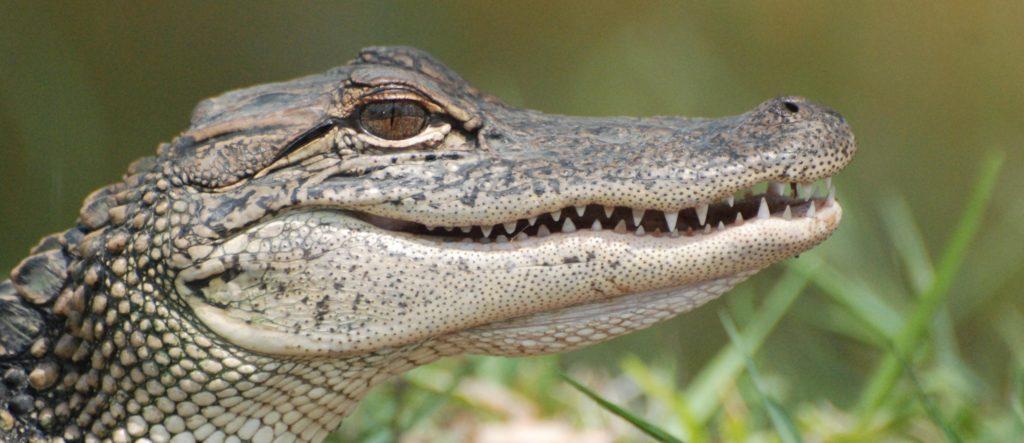 close up of Alligators head