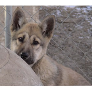 Creative Wolf Dog Pups Florida New Wolf Hybrid Puppies Sale Hoobly