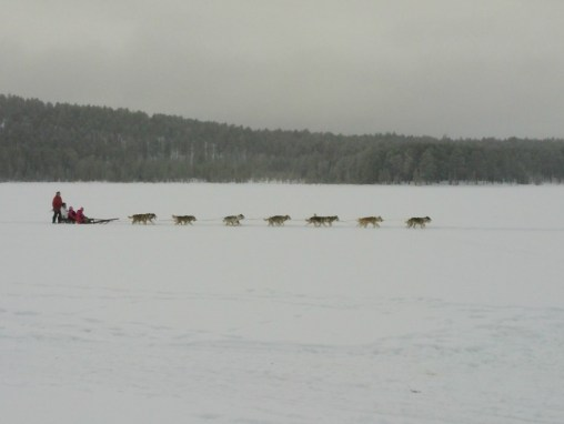 Dog sledding in Sweden