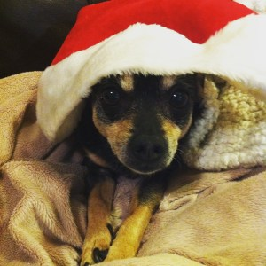 It's Santa Paws! (Aka, a disgruntled Abby.)