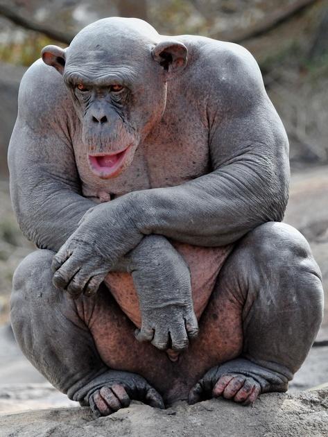 Un chimpanzé