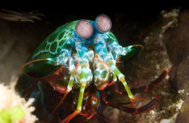 La crevette mante-religieuse