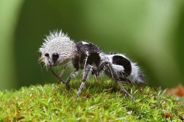 La fourmi panda