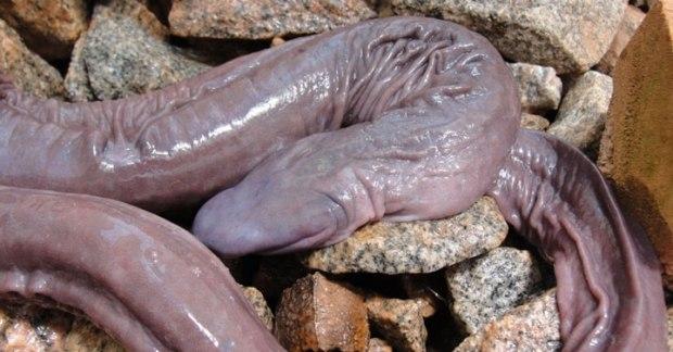 """Le """"serpent pénis"""""""