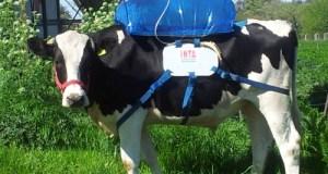 Les pets de vache pourraient faire rouler nos voitures