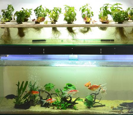 Aquaponics promotes an agriculture in which the fertilizer comes from the metabolic residues of the fish