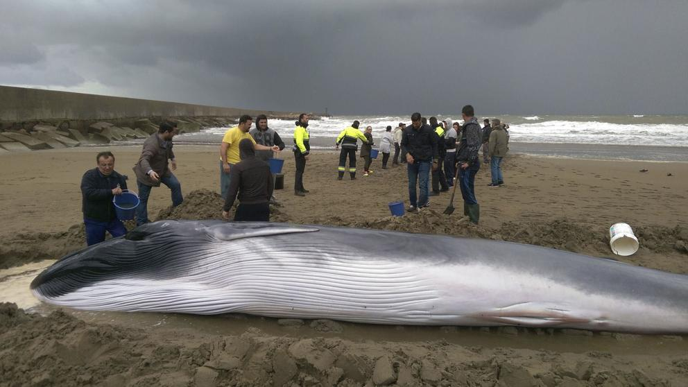 Varada una cría de ballena en una playa cercana a Huelva