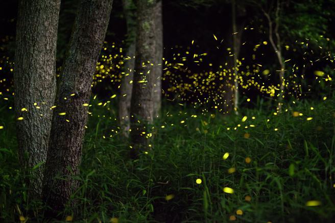 Luciérnagas, en peligro de extinción por la contaminación lumínica
