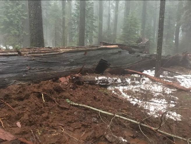 Restos del tronco de la secuoya Pioneer, tras la tormenta de principios de año
