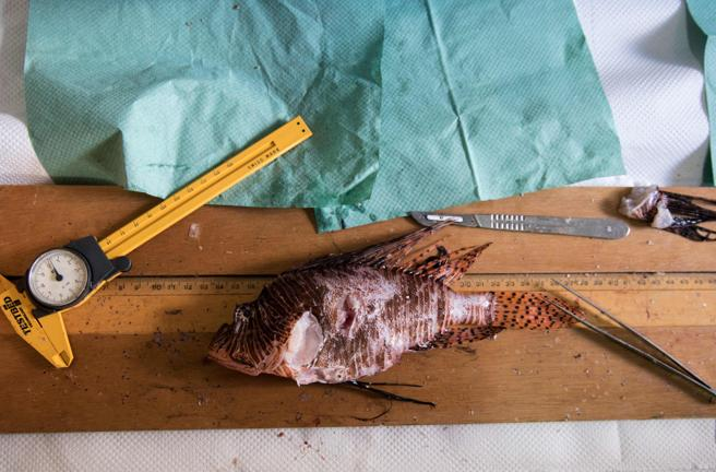 Estudio de un ejemplar de pez león en Chipre