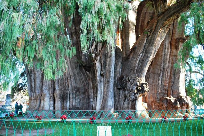 El del Tule es el árbol con el diámetro de tronco más grande del mundo