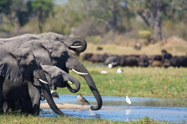 Elefantes en el delta del Okavango, Botsuana