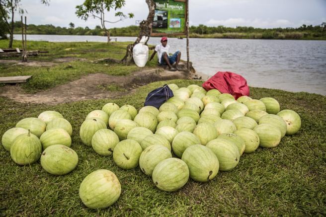 Este agricultor espera la llegada de una embarcación para llevar sus sandías al mercado, La Muskitia