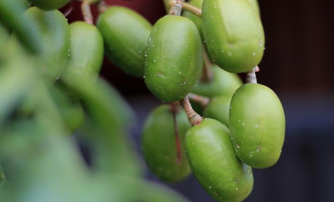 El kedondong o ciruela del Pacífico es una fruta tropical que contiene vitamina C, calcio, fósforo y hierro