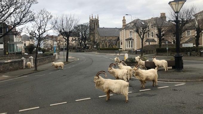 El rebaño de cabras silvestres se pasean ahora por la ciudad en busca de jardines donde alimentarse
